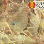 4/11 日高ボタンエビ漁解禁  10月まで